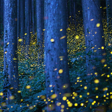 A swarm of fireflies light up a wooded forest